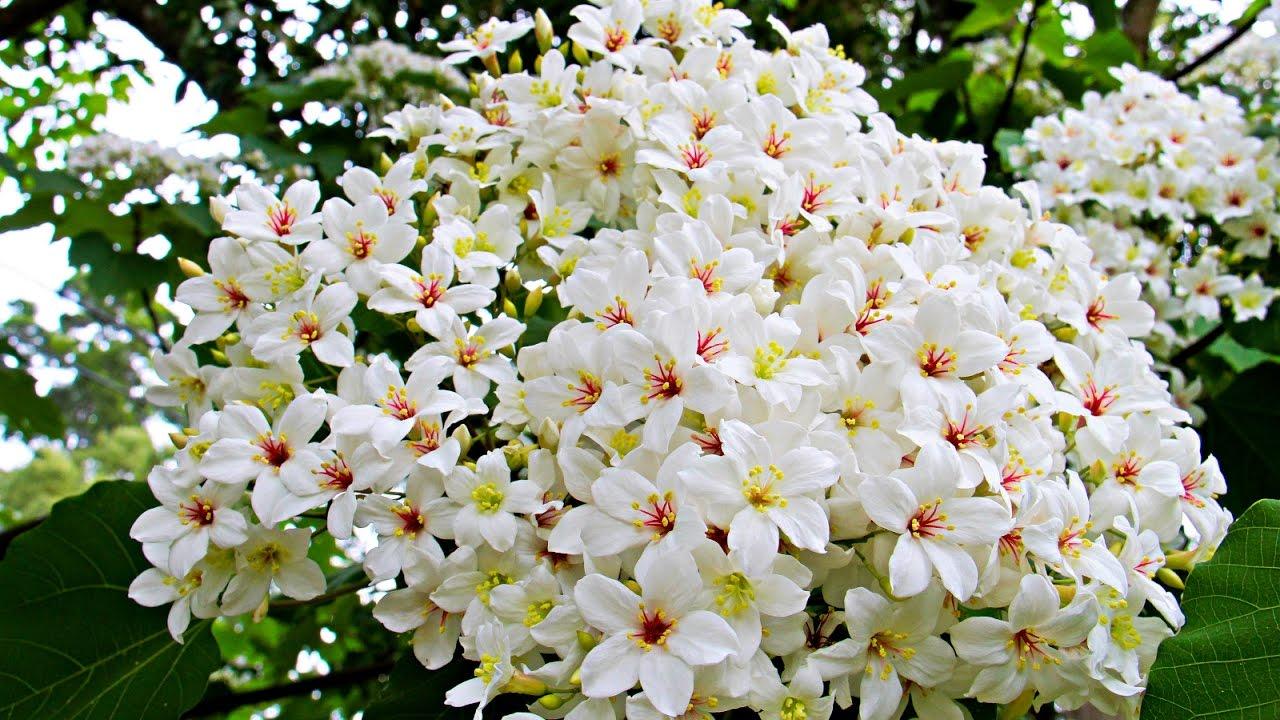 浪漫五月雪翩然到來 客家桐花季開跑了