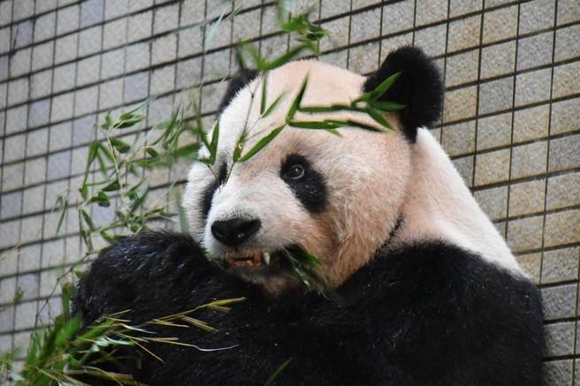 全球首例!貓熊裝「牙套」!「團團」不怕痛熊讚