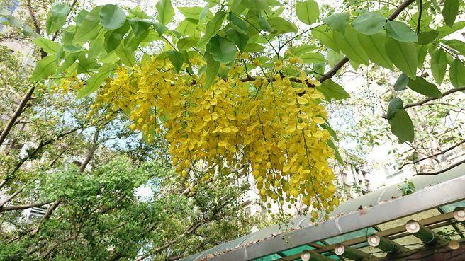 夢幻花朵迎熱情夏天!新北街頭飄起「夏日黃金雨」