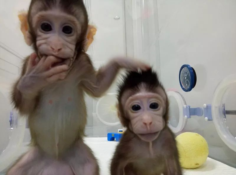 大陆克隆猴姐妹诞生:克隆技术的应用必须戴上伦理金箍