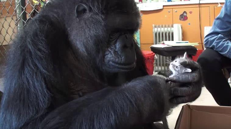"""46岁大猩猩走了:能和人类手语交流,还爱""""撸猫"""""""